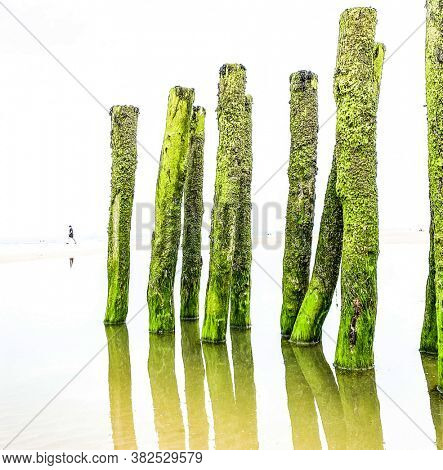 unrecognizable person walking on the sand and water breakers covered by green seaweed on the beach of the coast at the french Opal cost in France. the beach poles reflecting in water.