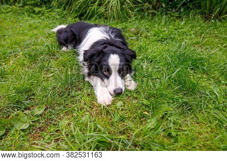 Outdoor Portrait Of Cute Smiling Puppy Border Collie Lying Down On Grass, Park Background. Little Do