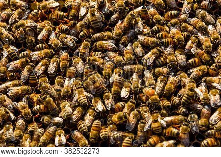 Bees On A Honeycomb. Apicultural Concept. Bees Background