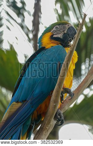 Ara Ararauna On The Branch. Blue And Yellow Macaw Sitting On A Tree. Macaw Parrot