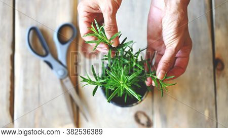 Selective focus. Female hands, a branch of rosemary, scissors. Rosemary in a pot.