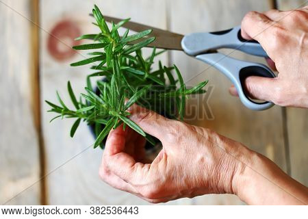 Selective Focus. Macro. Branch Of Growing Rosemary In Hand. Growing Greens. Rosemary In A Pot.