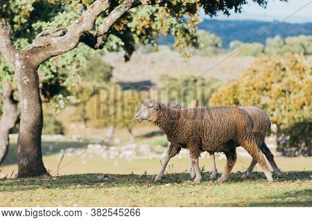 Sheeps Grazing In The Field On Extremadura, Spain