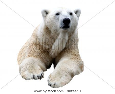 Polar Bear Isolated On White