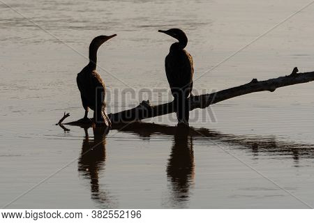 Two Double-crested Cormorant Birds Silhouetted Over Their Reflection In The Calm Water Of A Lake Whi
