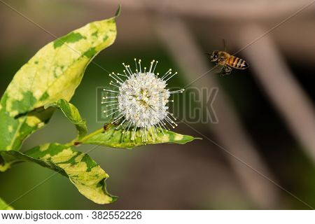 Honeybee Flying Toward A White, Spiked Flower On A Common Buttonbush Plant While Gathering Nectar An