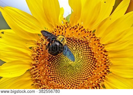 The Bumble Bee Is A Large Hickory Bee. Fly To Sunflower Island To Find Food.