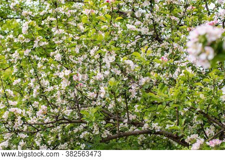 Apple Blossom, Orchard Spring Bloom. Delicate Pink White Flower Apple Tree Blossom, Natural Fresh Ba