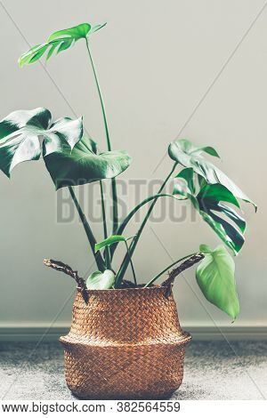 Real Monstera Leaves With The Plant In Seagrass Basket, Indoor Houseplant Near Grey Wall