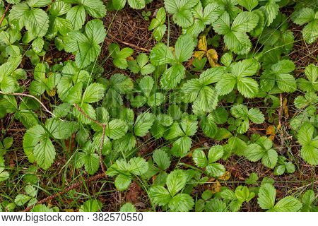Glade Covered With Leaves Of The Woodland Strawberry Among Grass At Selective Focus
