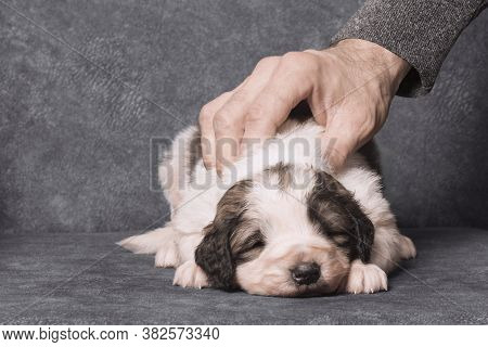 The Male Hand Is Caressing A Cute Little Sheperd Puppy On Gray Background.