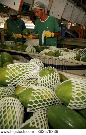 Mucuri, Bahia / Brazil - March 11, 2009: Collection And Processing Of Papaya For Export In The City
