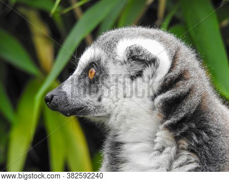 A Cute Ring Tailed Lemur Looking Away