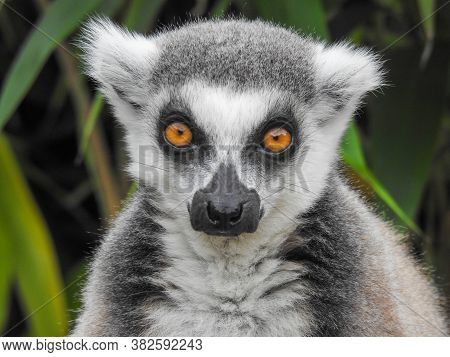 A Ring-tailed Lemur With Orange Eyes Up Close