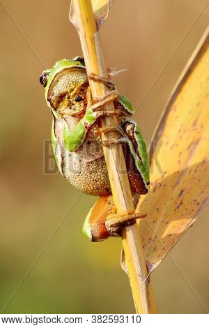 The European Tree Frog (hyla Arborea) Sitting On A Reed. Green Frog With A Yellow Background.