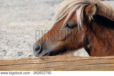 Portrait Of A Brown Little Pony Horse. Pony Horse At The Zoo