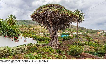 Millennial Drago Tree At Icod De Los Vinos, Tenerife - On Canary Island Tenerife