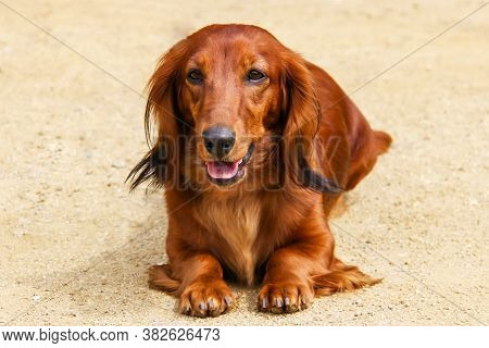 Portrait Of A Dog Breed Longhair Dachshund Bright Red Color In The Open Air. The Well-groomed Coat G