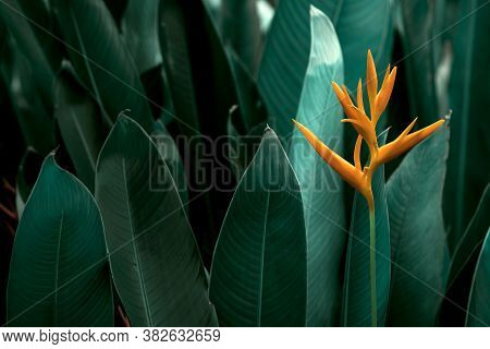 Heliconia Psittacorum Or Heliconia Golden Torch Or False Bird Of Paradise Flower. Exotic Tropical Fl