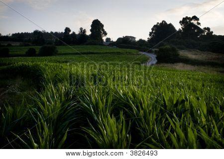 Field Of Maize(Corn)