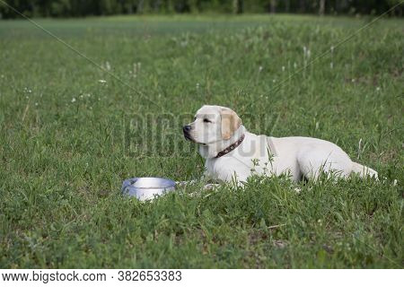 Hungry Labrador With Bowl Of Dog Food Ready To Eat. Waiting For Permission