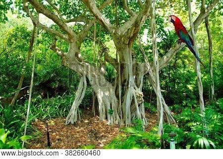 Scarlet Macaw Latin Name Ara Macao Perched On A Banyan Tree Latin Name Ficus Benghalensis