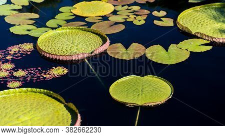 Victoria Water Lily Pads In A Pond