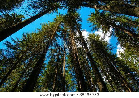 Trees In A Forest Seen From Below
