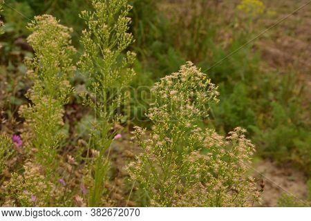 Canadian Horseweed (conyza Canadensis)