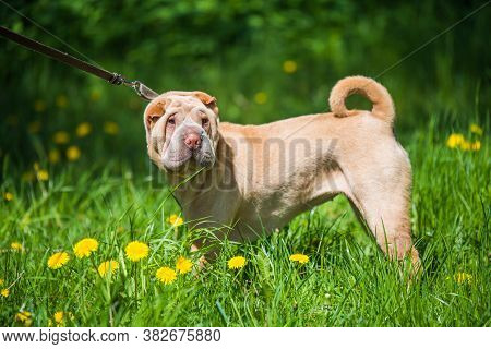 Shar Pei Dog On A Leash In Green Grass Background