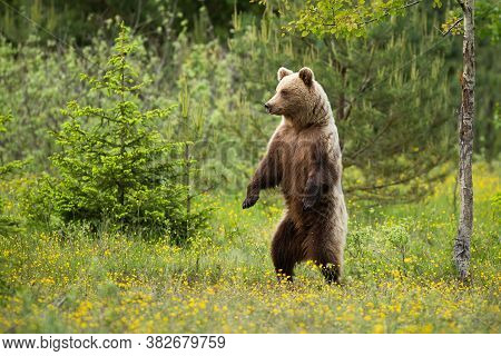 Magnificent Brown Bear Standing Erect In Forest In Summer.