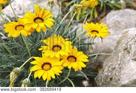 Gazania Rigens Yellow Flowers With A Brown Circle In The Middle Blooming In The Garden