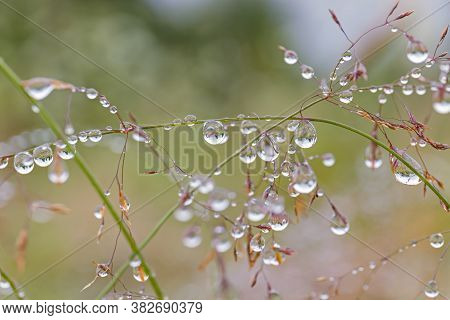 Wild Flowers With Dew Drops After Rain On The Field. Large Drops Of Water On Plant Stems. Natural Sc
