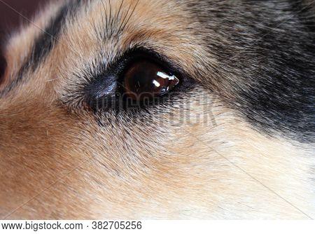Close-up Of Black Dogs Eye. Pets Gaze.