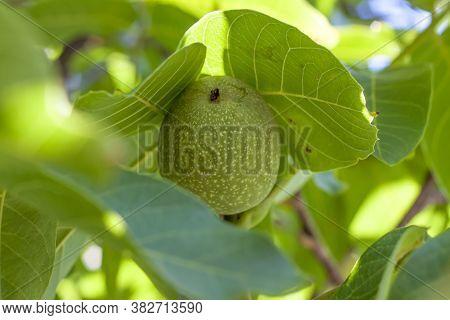 Little Walnuts On The Walnut Tree. Green Unripe Walnuts Hang On A Branch. Green Leaves And Unripe Wa