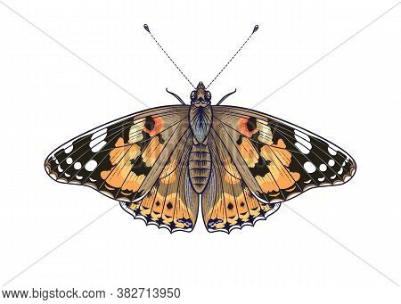 Hand Drawn Orange Vanessa Cardui Butterfly Isolated On White Background. Colorful Meadow Moth Top Vi