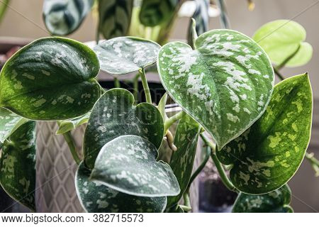 Satin Pothos (scindapsus Pictus) Houseplant In A White Pot On A Window Sill. Vines Of An Attractive