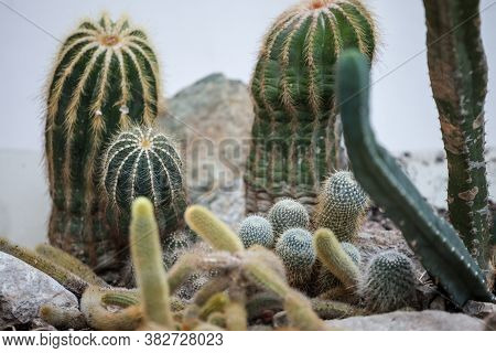 Different Types Of Cactus, Of Varius Shapes, From Round To Long Cactus Of The Following Species: Eph