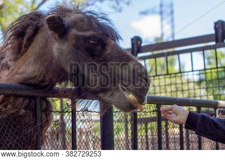An Old Camel Takes A Piece Of Bread From A Person's Hand In A Zoo, Although There Is A Prohibition O