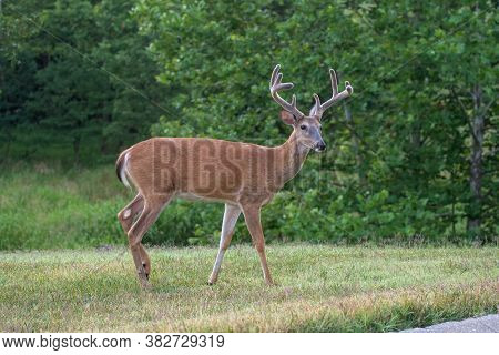 Large White-tailed Deer Buck In A Meadow