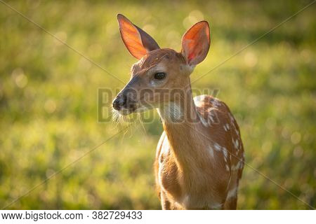 White-tailed Deer Fawn In Morning Light