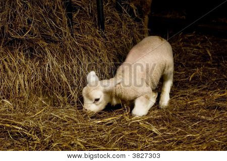 A new born lamb trying to stand up in dried hay. poster