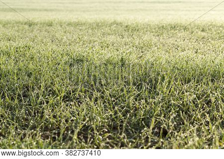 Winter Rye Or Wheat Covered With Ice Crystals And Frost During Winter Frosts, Grass On An Agricultur
