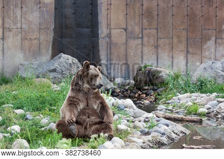 A Large Male Grizzly Bear Sits In A Relaxing Yoga Pose Next To A Pond And Some Rocks On A Hot Day In