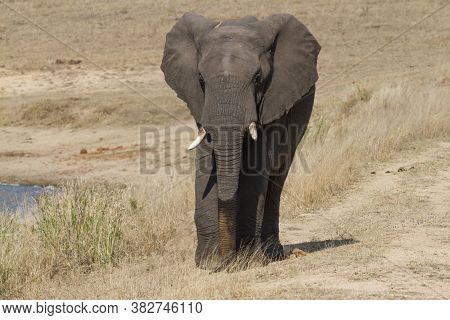 Solitary African Elephant (loxodonta Africana) Closeup Walking In Dry Grass In Kruger National Park,