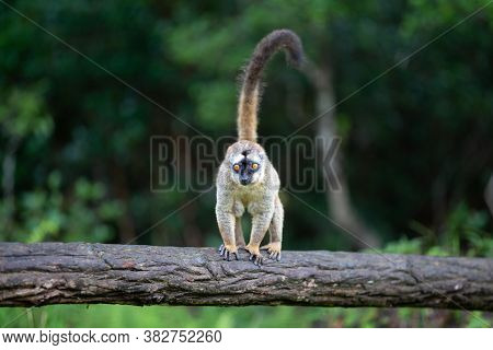 One Brown Lemur Stands On A Tree Trunk
