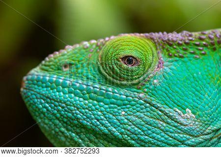 A Close-up, Macro Shot Of A Green Chameleon