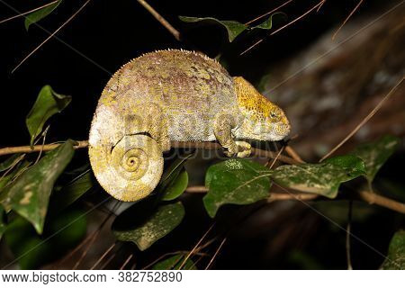 A Chameleon On A Branch In The Rainforest Of Madagascar
