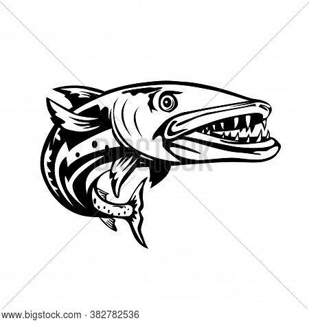 Retro Woodcut Style Illustration Of A Barracuda Or Sphyraena Barracuda, A Large, Predatory Saltwater