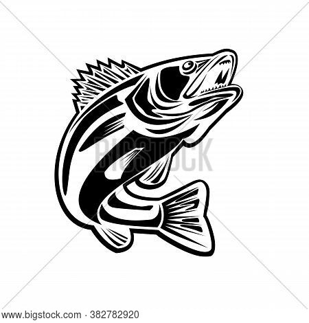 Black And White Illustration Of A Barramundi Or Asian Sea Bass Or Lates Calcarifer Jumping Up Viewed